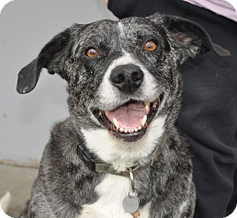 Catahoula Leopard Dog/Labrador Retriever Mix Dog for adoption in Vancouver, Washington - Lacey