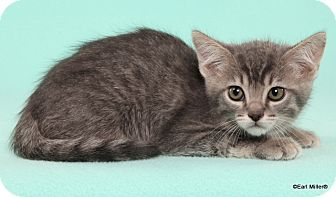 Domestic Shorthair Cat for adoption in Las Vegas, Nevada - Fo