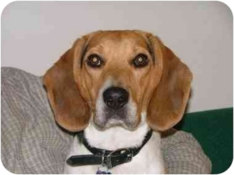 Beagle Dog for adoption in Ventnor City, New Jersey - HENRY