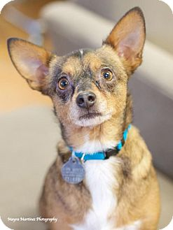 Terrier (Unknown Type, Medium)/Chihuahua Mix Dog for adoption in Huntsville, Alabama - Scotchie