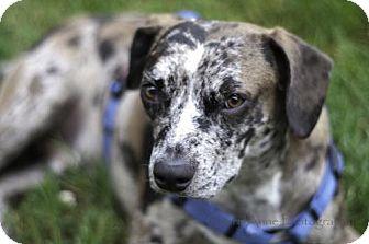 Australian Cattle Dog Mix Dog for adoption in Point Pleasant, Pennsylvania - DRAKE-PENDING