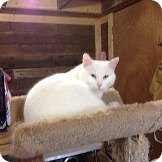 Domestic Shorthair Cat for adoption in Cincinnati, Ohio - Sugar Cube