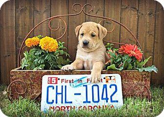Rhodesian Ridgeback Mix Puppy for adoption in Austin, Texas - Carolina