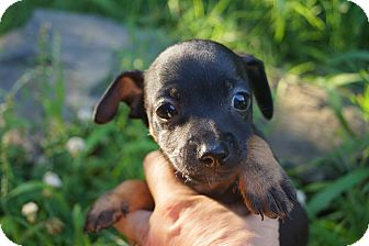 Chihuahua/Dachshund Mix Puppy for adoption in Newark, Delaware - Big McIntosh