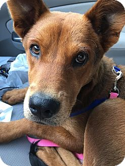 German Shepherd Dog Mix Puppy for adoption in WESTMINSTER, Maryland - Boo Boo