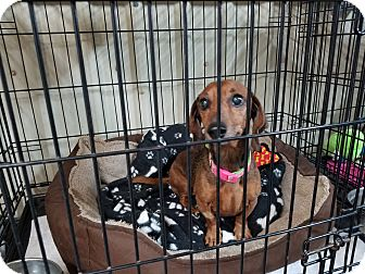 Dachshund Mix Dog for adoption in Lubbock, Texas - Missy