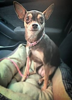 Chihuahua Dog for adoption in Frisco, Texas - Flicka