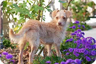 Wirehaired Fox Terrier Mix Dog for adoption in Coronado, California - Erika