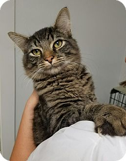 Maine Coon Cat for adoption in Hendersonville, North Carolina - Teadoro