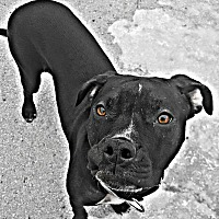 Hound (Unknown Type)/American Pit Bull Terrier Mix Puppy for adoption in West Allis, Wisconsin - Tia