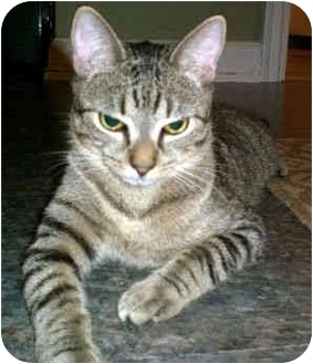 Domestic Shorthair Cat for adoption in Ardsley, New York - Hayden