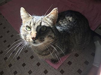 Domestic Shorthair Cat for adoption in Burlington, North Carolina - ANGELINA