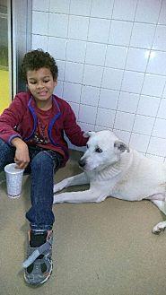 Anatolian Shepherd/Akbash Mix Dog for adoption in haslet, Texas - Foxy