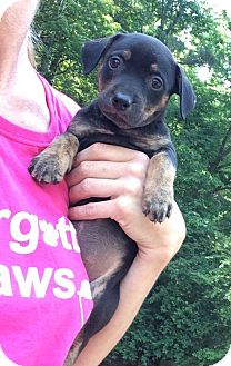 Pit Bull Terrier/Corgi Mix Puppy for adoption in Acworth, Georgia - 11 Puppies need FOSTER ASAP