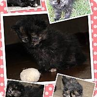 Adopt A Pet :: Luna - oklahoma city, OK