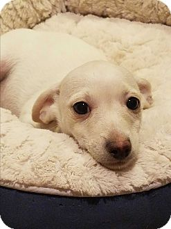 Dachshund Mix Puppy for adoption in Cave Creek, Arizona - Tagalong