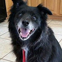 Schipperke/Border Collie Mix Dog for adoption in Summerville, South Carolina - Coco