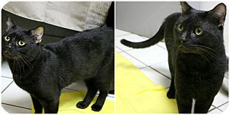 Domestic Shorthair Cat for adoption in Forked River, New Jersey - Shadow