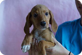 Golden Retriever/Redbone Coonhound Mix Puppy for adoption in Oviedo, Florida - Aj