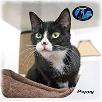 Adopt A Pet :: Poppy - Howell, MI