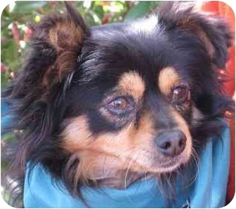 Chihuahua Dog for adoption in San Diego, California - Toby