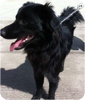 Flat-Coated Retriever Mix Dog for adoption in Irvine, California - SNICKER