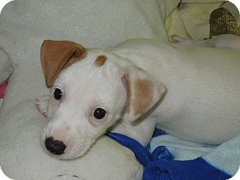 Jack Russell Terrier Puppy for adoption in Washington, Pennsylvania - Joey