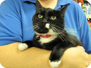 Domestic Shorthair Cat for adoption in Diamond Bar, California - SIERRA