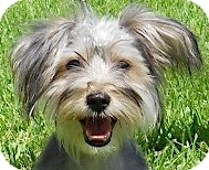 Yorkie, Yorkshire Terrier Mix Dog for adoption in Kingwood, Texas - Bailey
