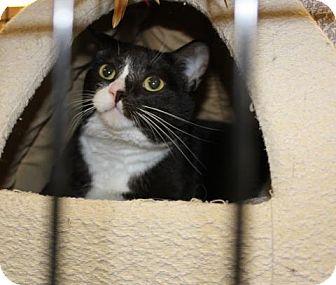 Domestic Mediumhair Cat for adoption in Victoria, British Columbia - Gucci