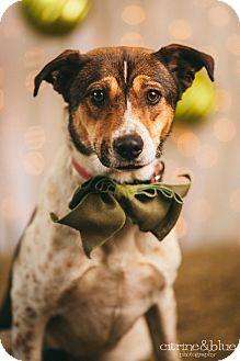 Australian Cattle Dog/Australian Shepherd Mix Dog for adoption in Portland, Oregon - Sophie