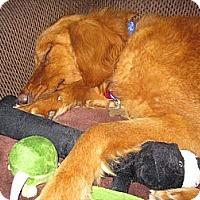 Adopt A Pet :: Waunita - Denver, CO