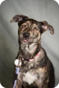 Dutch Shepherd/Retriever (Unknown Type) Mix Puppy for adoption in Minneapolis, Minnesota - Bella