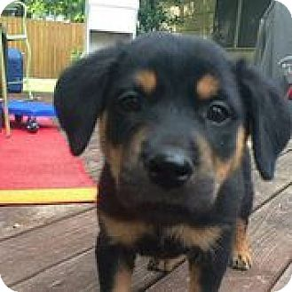 Rottweiler Mix Puppy for adoption in Austin, Texas - Marshall