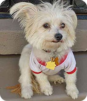 Yorkie, Yorkshire Terrier/Silky Terrier Mix Dog for adoption in Los Angeles, California - Margeaux