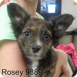 Corgi Mix Puppy for adoption in Manassas, Virginia - Rosey