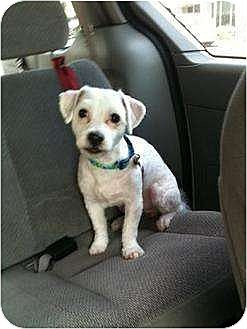 Maltese/Poodle (Miniature) Mix Dog for adoption in Flushing, New York - Benihana