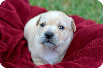 Pit Bull Terrier/Bullmastiff Mix Puppy for adoption in College Station, Texas - Alice
