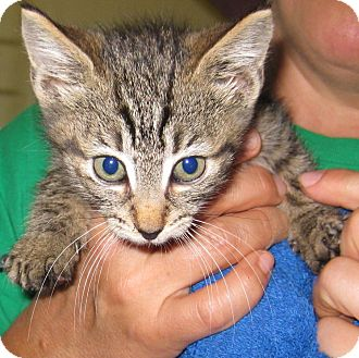 Domestic Shorthair Kitten for adoption in Randolph, New Jersey - William, Kingston and Cherokee