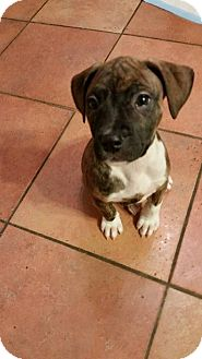Boxer Mix Puppy for adoption in Valley Stream, New York - Madi