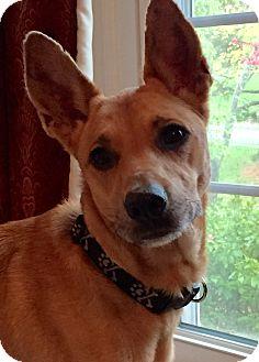 Carolina Dog Mix Dog for adoption in Cranston, Rhode Island - Fern