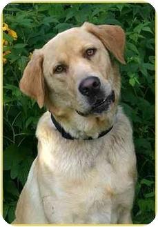 Labrador Retriever Dog for adoption in Ladysmith, Wisconsin - Buddy