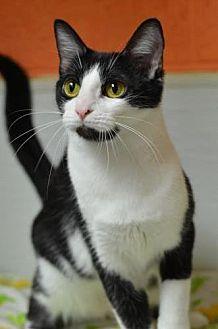Domestic Shorthair Cat for adoption in Atlanta, Georgia - Enya 131164