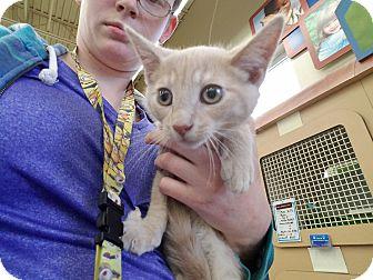 Domestic Shorthair Kitten for adoption in Warren, Michigan - Tubby