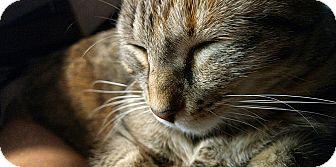 Domestic Shorthair Cat for adoption in Overland Park, Kansas - Daphne