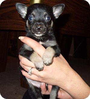 Chihuahua/Dachshund Mix Puppy for adoption in Phoenix, Arizona - 7 Puppies
