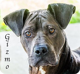 Pit Bull Terrier Mix Dog for adoption in Lancaster, Texas - Gizmo