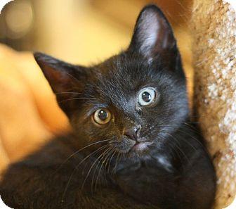 Domestic Shorthair Kitten for adoption in Canoga Park, California - Kobe