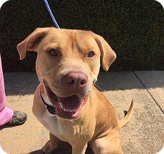 Labrador Retriever/Boxer Mix Dog for adoption in Birmingham, Alabama - RUBY (Courtesy Post)