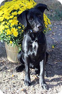 Labrador Retriever/Flat-Coated Retriever Mix Puppy for adoption in Westminster, Colorado - ZUZU